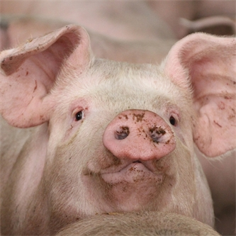Pork prospects good despite challenges