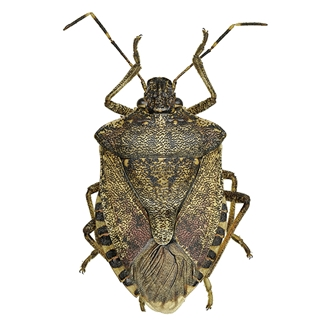 Brown Marmorated Stink Bug (BMSB)