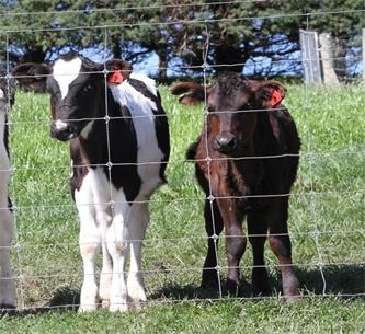 Avoiding disease during calving