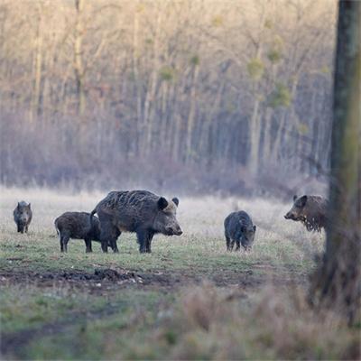 Pigs-web