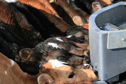 Calves Drinking Feeder Farm
